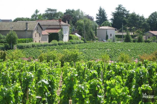 Une vigne de Beaujolais... (André Duchesne, Archives La Presse)