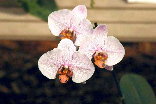 Photo du haut, des orchidées Phalaenopsis Memoria Ramona... (Photo www.jardinierparesseux.com)