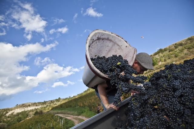 Les vignerons indépendants vendangent, vinifient et commercialisent eux-mêmes... (Photo Balint Porneczi, Archives Bloomberg)