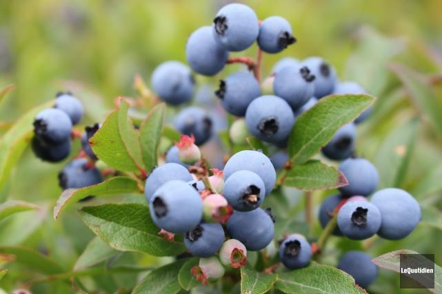 La saison du bleuet pourrait être très moyenne... ((Archives Le Quotidien))
