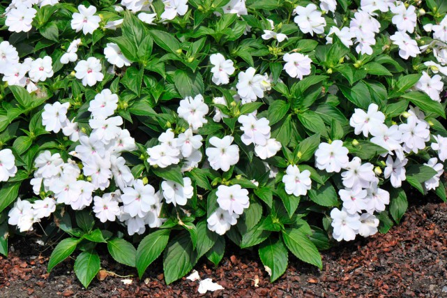 Impatiens interspécifique Big Bounce™ White (Impatiens x hybrida Big Bounce™...