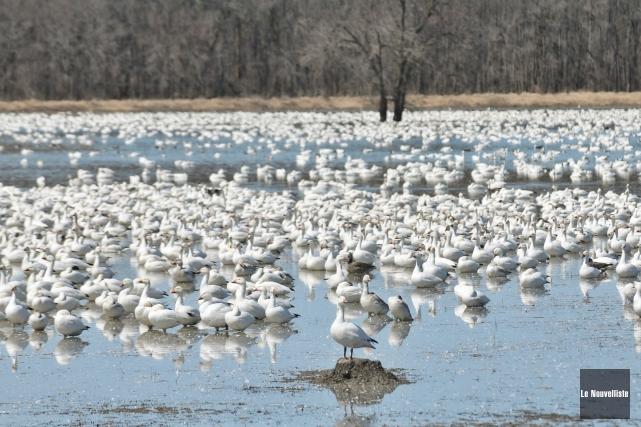 Chaque année, elles sont quelques milliers d'oies blanches... (Photo: Émilie O'Connor Le Nouvelliste)