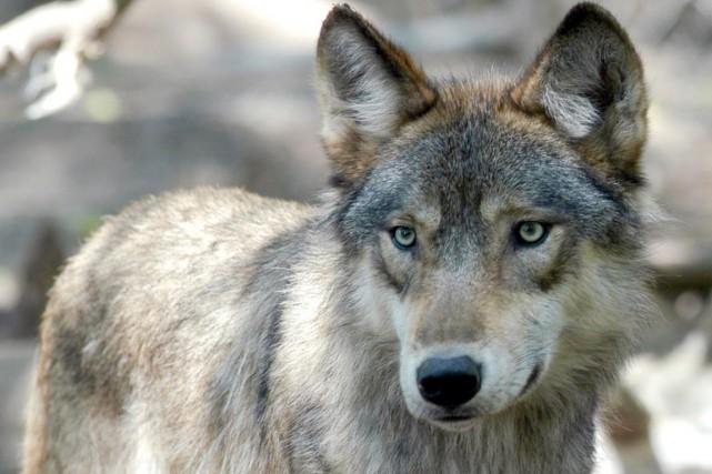 Pas plus de 36 loups ont été dénombrés... (PHOTO DAWN VILLELLA, ARCHIVES AP)