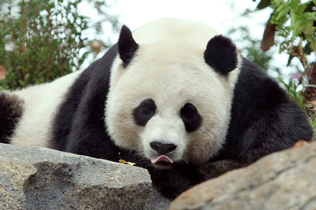 Mei Xiang a déjà donné naissance à deux... (Photo: AFP)