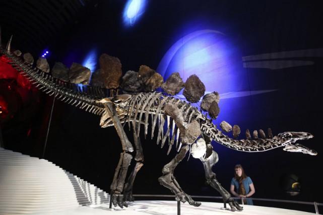 Le squelette le plus complet d'un stégosaure est... (Archives Reuters)