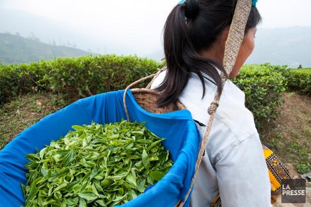 À Darjeeling, on pratique en général la cueillette... (PHOTO MARIE-SOLEIL DESAUTELS)