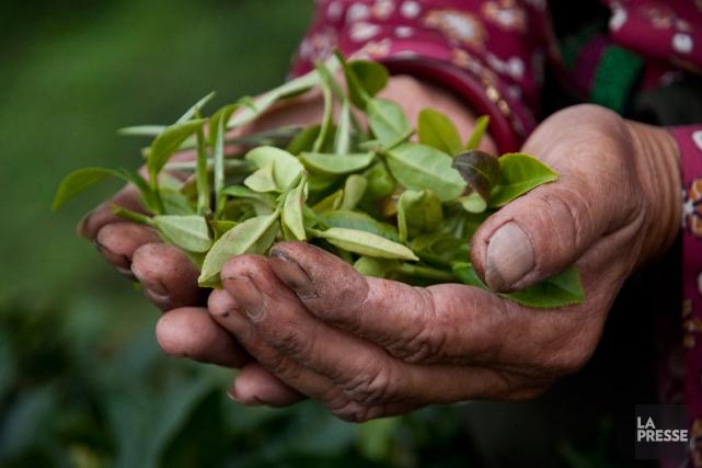 Les feuilles de thé proviennent de l'arbreCamellia sinensis.... (PHOTO MARIE-SOLEIL DESAUTELS)