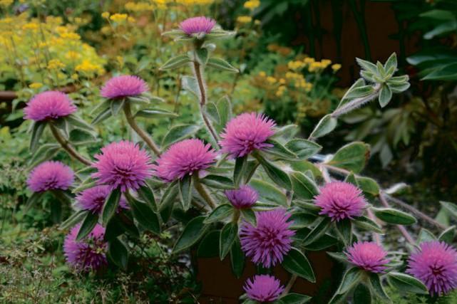 Le gomphrena «Pink Zazzle»produit des fleurs annuelles étranges,... (Photo fournie par Deco Style)