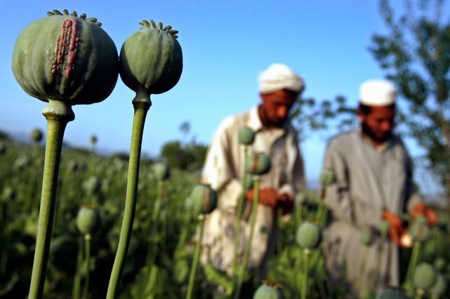 Aucune entreprise ne cultive le pavot au Canada,... (Photo Ahmad Masood, archives Reuters)