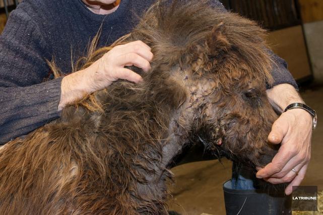 De quelle espèce était l'animal qui s'est attaqué à des chevaux miniatures à... (Imacom, Frédéric Côté)