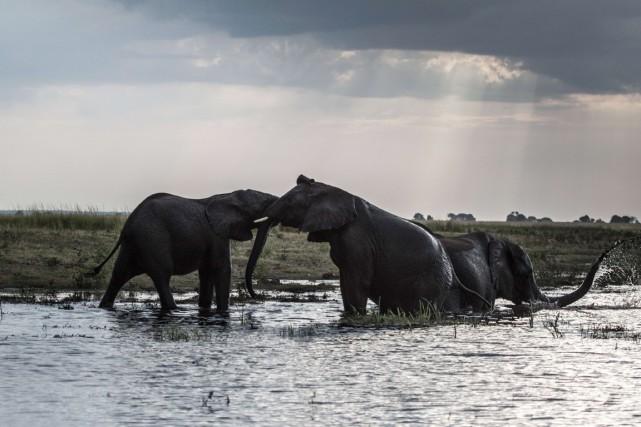 «Les éléphants viennent trouver refuge dans notre pays»,... (PHOTO CHRIS JEK, ARCHIVES AFP)