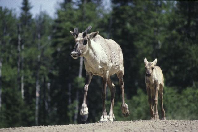 Le caribou forestier était autrefois présent dans tout... (PHOTO FOURNIE PAR LE MINISTÈRE DES RESSOURCES NATURELLES ET DE LA FAUNE)