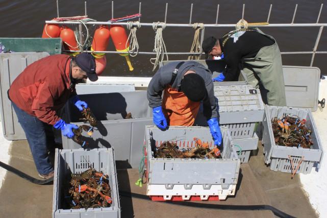 Les prises de homard sont abondantes depuis quelques... (Collaboration spéciale Gilles Gagné)