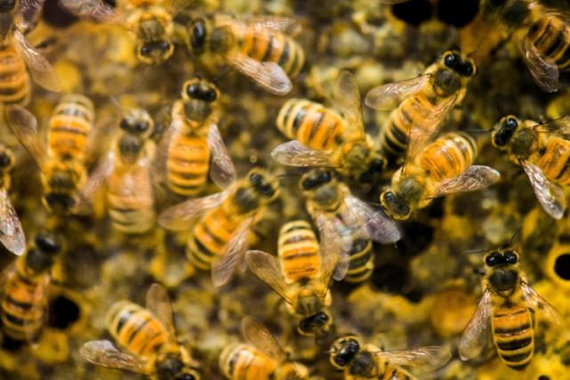 Les apiculteurs américains ont perdu 42% de leurs colonies d'abeilles entre... (Photo: AP)
