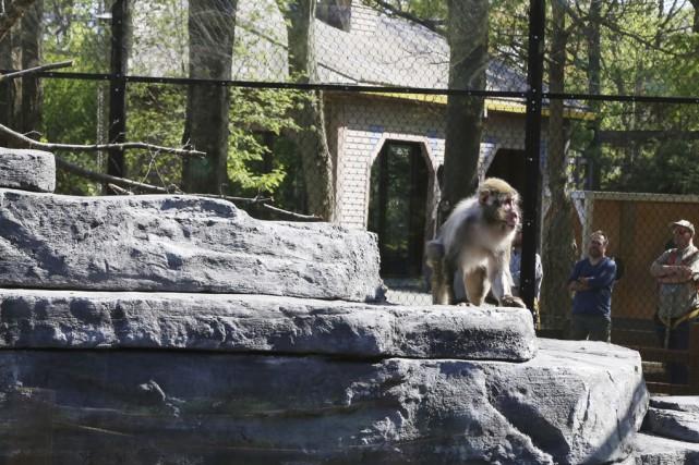 Les macaques apprivoisent leur nouvel habitat avec ses... (Photo Janick Marois)