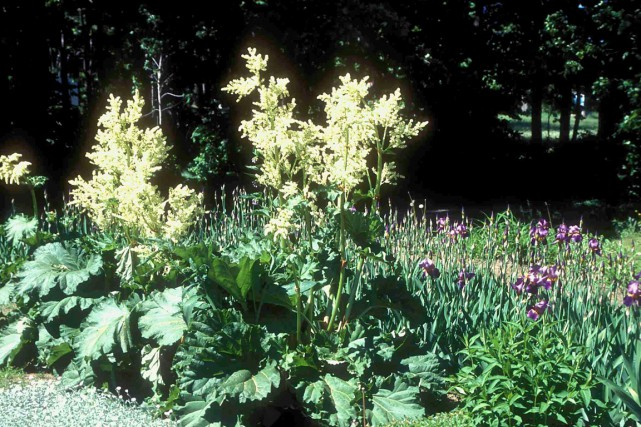 La rhubarbe est si jolie qu'elle mérite une... (www.jardinierparesseux.com)