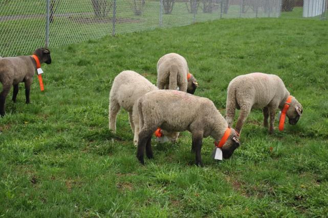 Dix jeunes moutons entretiendront, tout l'été, les pelouses... (PHOTO FOURNIE PAR LES JARDINS DE MÉTIS)