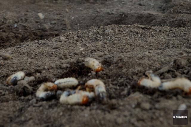 Des terrains infestés de vers blancs.... (Photo: François Gervais, Le Nouvelliste)