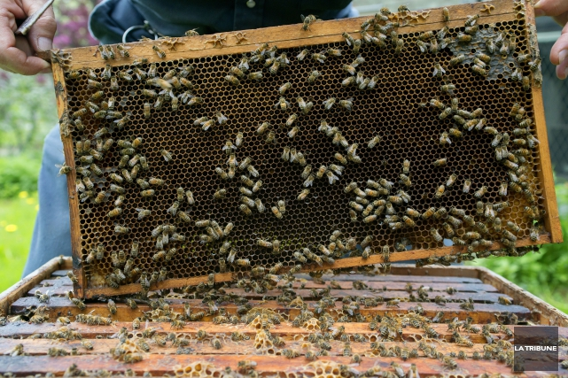 Les colonies d'abeilles disparaissent radicalement. Et si l'espèce venait qu'à... (Imacom, Frédéric Côté)
