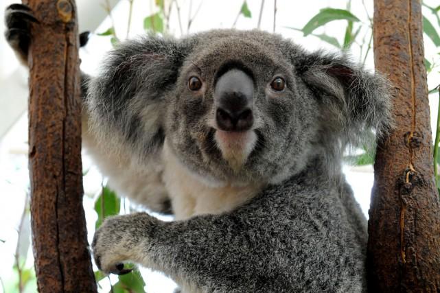 L'État australien du Queensland s'apprête à classer parmi les espèces... (PHOTO TORSTEN BLACKWOOD, AFP)