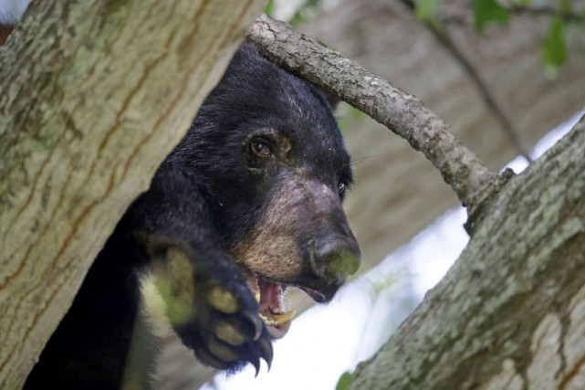 L'ourson aurait été aperçu près du chemin Barnsdale... (Gerald Herbert, Archives AP)