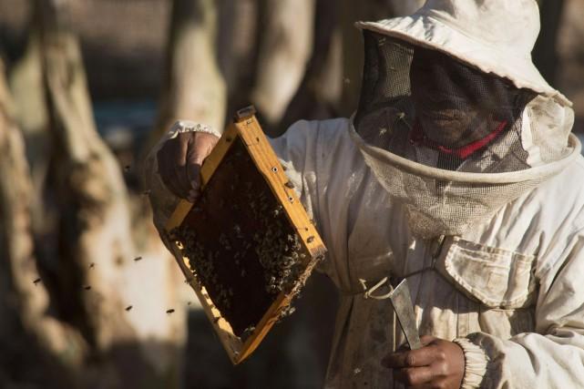 Une épidémie de loque américaine, une maladie mortelle... (PHOTO RODGER BOSCH, AFP)