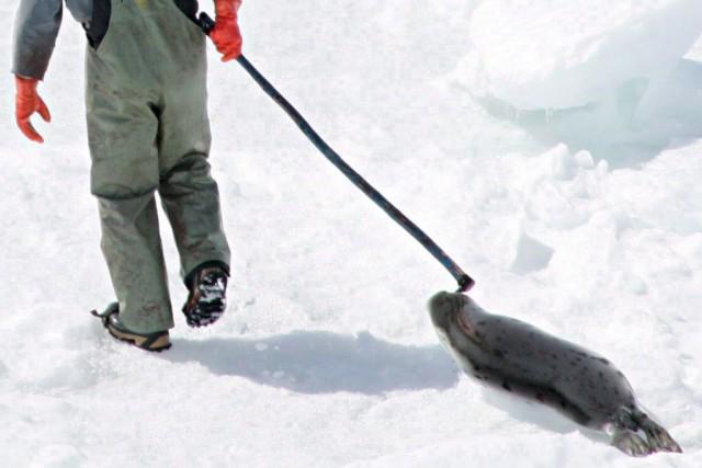 L'an dernier, quelque 55 000 phoques du Groenland... (Photo Jonathan Hayward, archives La Presse canadienne)