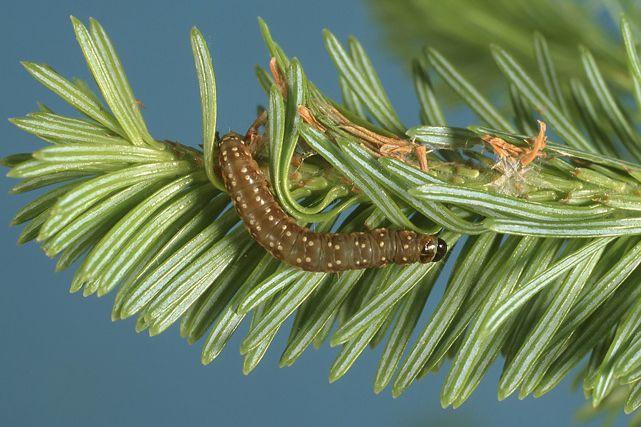La tordeuse des bourgeons d'épinettes... (Ministère des Ressources Naturelles et de la Faune)