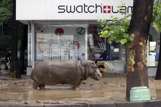 Un hippopotame se promène dans les rues inondées... (Photo Beso Gulashvili, Reuters)