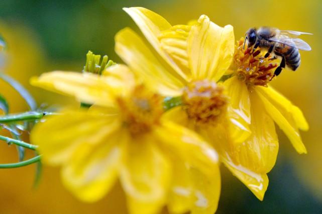 Les néonicotinoïdes attaquent le système nerveux des abeilles... (Archives AFP)
