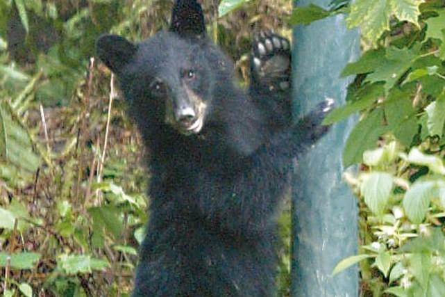 Un ourson égaré sur le boulevard du Plateau a fait parler, jeudi matin, à... (Archives, LeDroit)