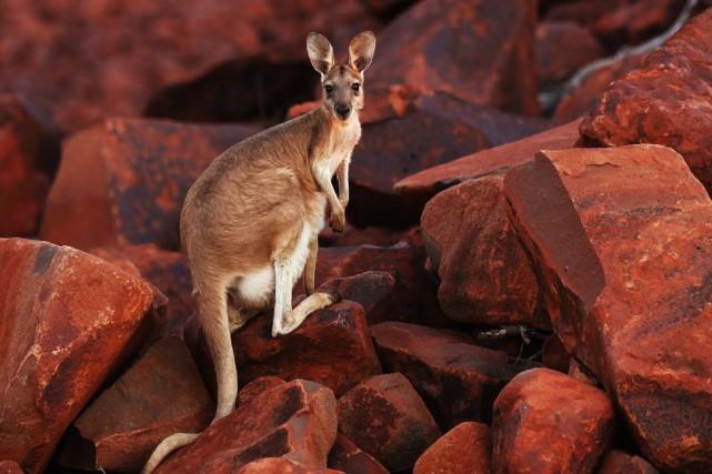 Les kangourous, comme les humains, préfèrent se servir... (Photo Daniel Munoz, Reuters)