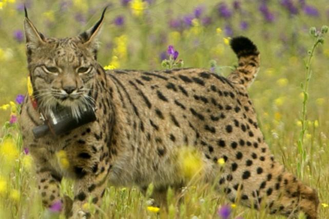 Le nombre de lynx écrasés a explosé ces... (PHOTO AFP)