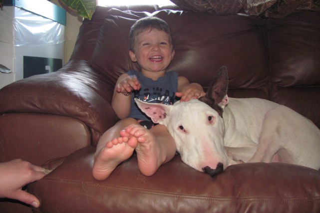 Patron, un bull terrier de deux ans, suit... ((Courtoisie))
