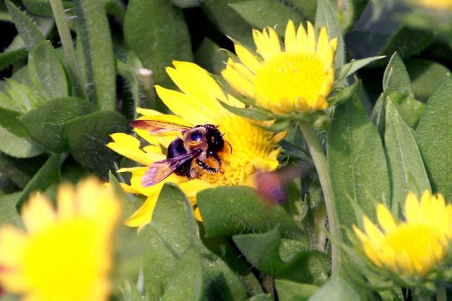 Les abeilles sont menacées partout dans le monde.... (www.jardinierparesseux.com)
