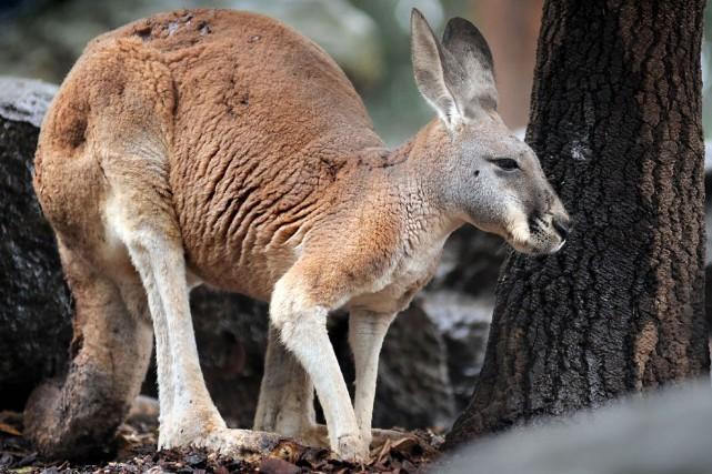 Un bébé kangourou arboricole privé de sa mère a survécu en tétant dans la poche... (PHOTO ARCHIVES BLOOMBERG)