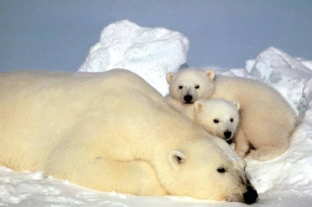 L'ours polaire, considéré comme globalement menacé, a été... (PHOTO STEVE AMSTRUP, ARCHIVES AP)