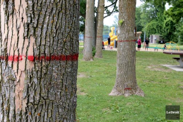 Gatineau a dénombré 3600 frênes sur des sites... (Simon Séguin-Bertrand, LeDroit)