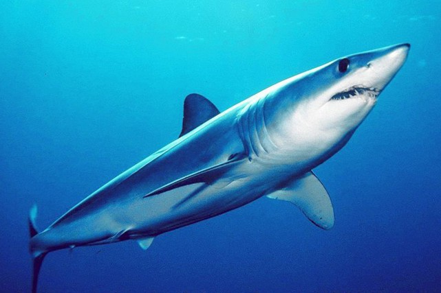 Le requin marko... (PHOTO FUTURA-SCIENCES.COM)
