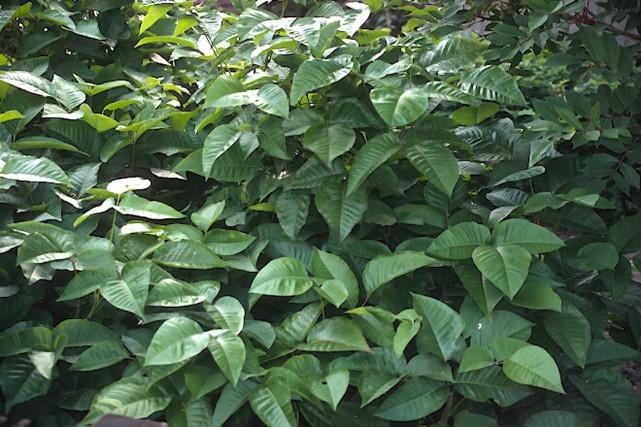 On reconnaît surtout l'herbe à la puce par... (Photo www.jardinierparesseux.com)