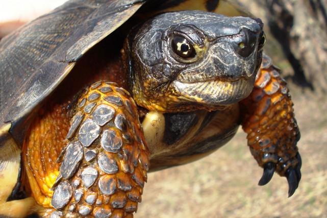 Peut-être avez-vous évité de justesse une tortue sur la route récemment? Il y a... (Photo fournie)