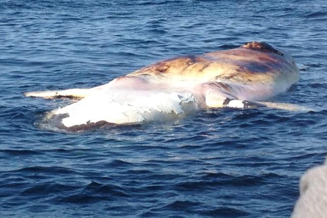 Même si la peau de la baleine a... (Photo Karl Tokatlidis, Écomaris)