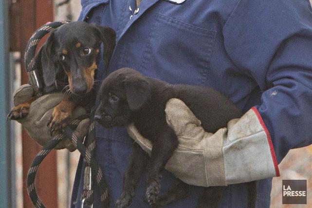 La centaine de chiens saisis à Dudswell le 16 juin dernier ont retrouvé la... (Archives La Presse)