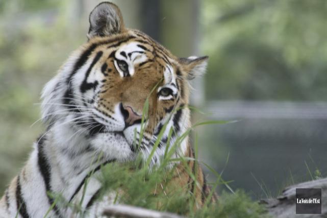 «Venez voir! Nous allons nourrir les tigres dans... (photo archives La Voix de l'Est)