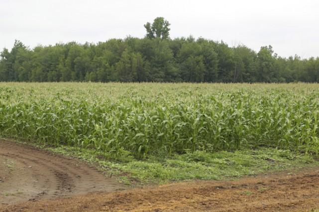 Les champs de maïs de la région regorgeront... (photo Catherine Trudeau)