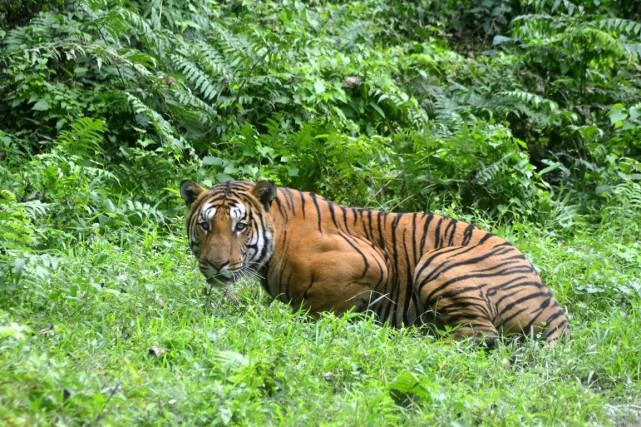 L'Inde abrite la plus importante population de tigres... (PHOTO ARCHIVES AFP)