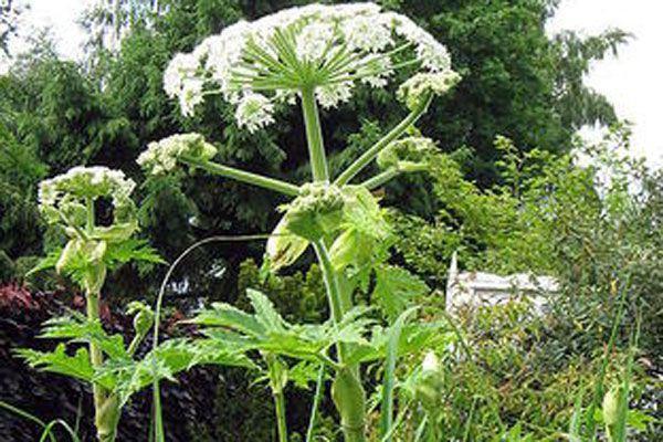 La berce du Caucase est une plante géante... (Photo courtoisie)