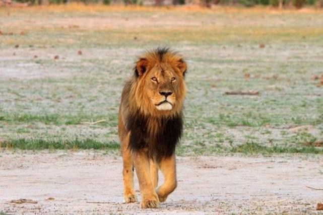 L'animal, un mâle baptisé Cecil, très populaire auprès... (PHOTO PAULA FRENCH, BBC)