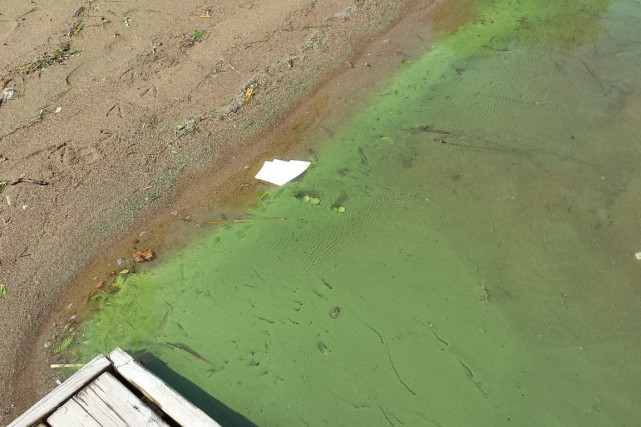 Les cyanobactéries, aussi appelées algues bleu-vert, sont des... (PHOTO FOURNIE PAR CBJC, LINDA  HAYES)