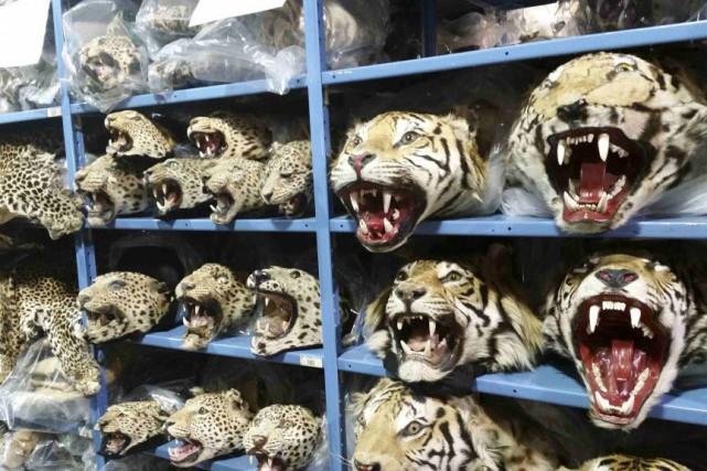 Des tigres et des léopards empaillés trônent sur... (Photo Ryan Moehring, Reuters)